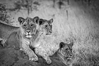African Lions #1