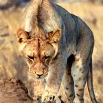 """African Lions #3"" by mjphoto-graphics"