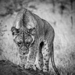 """African Lions #4"" by mjphoto-graphics"