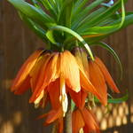 """First Morning Sun Rays Red Crown Imperial"" by vpicks"