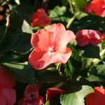 """Impatiens in the Shadows"" by JBTurek"