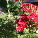 """Bright Red Petunias"" by JBTurek"