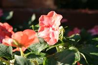 Impatiens in the Evening