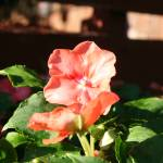 """Bright Impatiens"" by JBTurek"