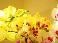 Orchids Flowers art prints floral Yellow