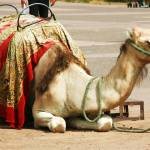 """C:\fakepath\2010 24 Sep Camel near Menara 143"" by CarrieWaters"