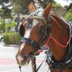 """""""C:\fakepath\2013 13 May Mdina horse 60"""" by CarrieWaters"""