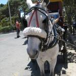 """""""C:\fakepath\2013 13 May Mdina horse 141"""" by CarrieWaters"""