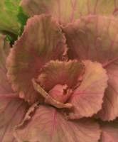 Ornamental Cabbage Blossom