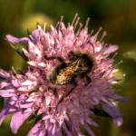 """Bumble Bee and Scabious"" by SteveWalton"