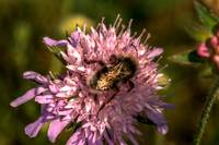 Bumble Bee and Scabious