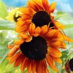 """sunflowers"" by markashkenazi"