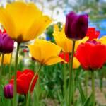 """""""tulips"""" by markashkenazi"""