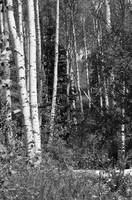 Colorado Aspen Black & White