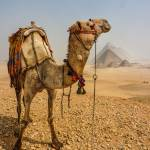 """""""Contemplative Camel"""" by motleymenagerie"""