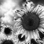 """Black and white sunflowers"" by motleymenagerie"