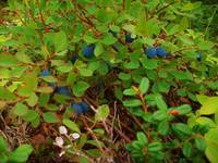 Alaskan Blueberries