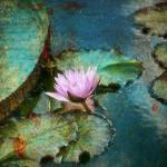 """Zen Water Lily"" by JohnRivera"