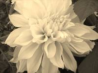 Dahlia in Black and White
