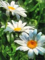 Gardens - Three White Daisies
