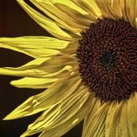 sunflowers Art Prints & Posters by Paul Ponticell