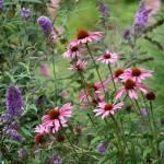 """""""Echinacea Flowers"""" by KsWorldArt"""
