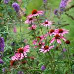 """Coneflowers in Garden"" by KsWorldArt"