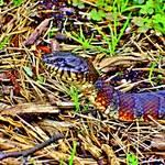 """Beautiful   Water  Snake"" by RickTodaro"