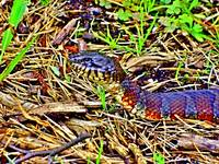 Beautiful   Water  Snake