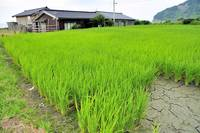 House On The Beach, Rice Field Behind