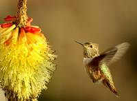 Flight of the Hummer