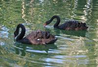 Two Black Swan Birds In A Pond