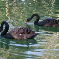 Two Black Swan Birds In A Pond Art Prints & Posters by Alex Levin