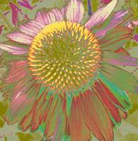 daisy 2 stange colors