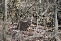 deer laying in woods