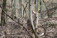 2 deer in woods, one standing one laying