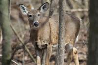 deer, full body in woods