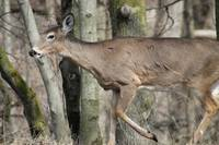 deer sideview