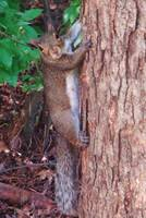 Squirrel In A Tree 2