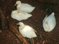 White Geese 2