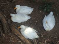White Geese 3