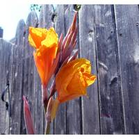 Flower against fence