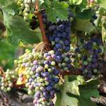 """""""Colorful Grapes"""" by Groecar"""
