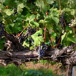 """""""Ripening Grapes"""" by Groecar"""