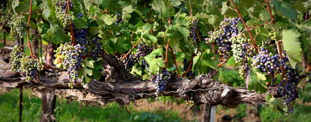 Ripening Grapes