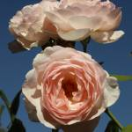 """Rose Cluster, Sky, Sarah Myers"" by smyers"