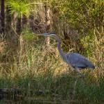 """""""Heron on the Hunt"""" by julieandel"""