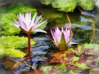 Two Purple Water Lotus