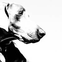 Weimaraner on White Art Prints & Posters by Lori Spradley