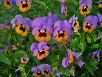 Purple & Gold Pansy